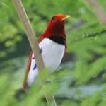 6f725 paradijsvogel5 - Paradijsvogels
