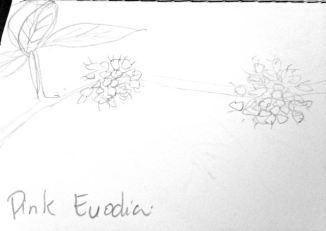 Pin Euodia sketch 1