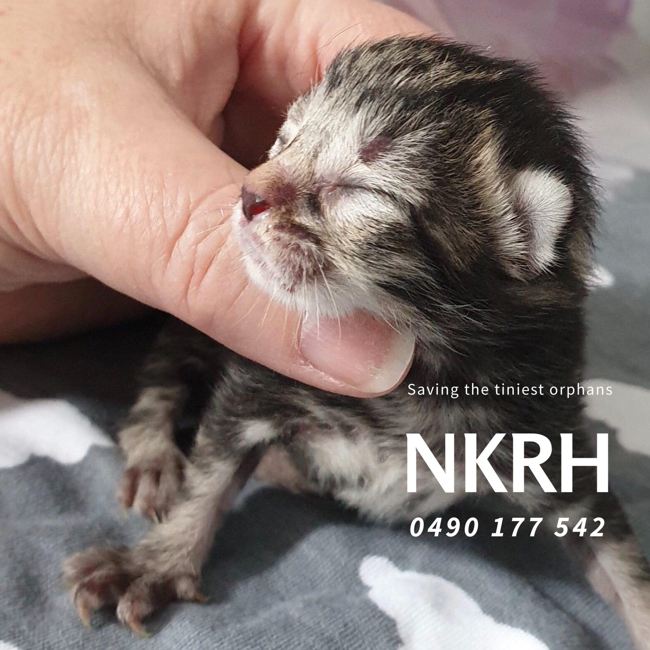 Neonatal Kitten Rescue Hobart