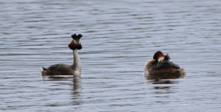 Grebe Mating Dance