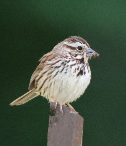 Song Sparrow and breakfast