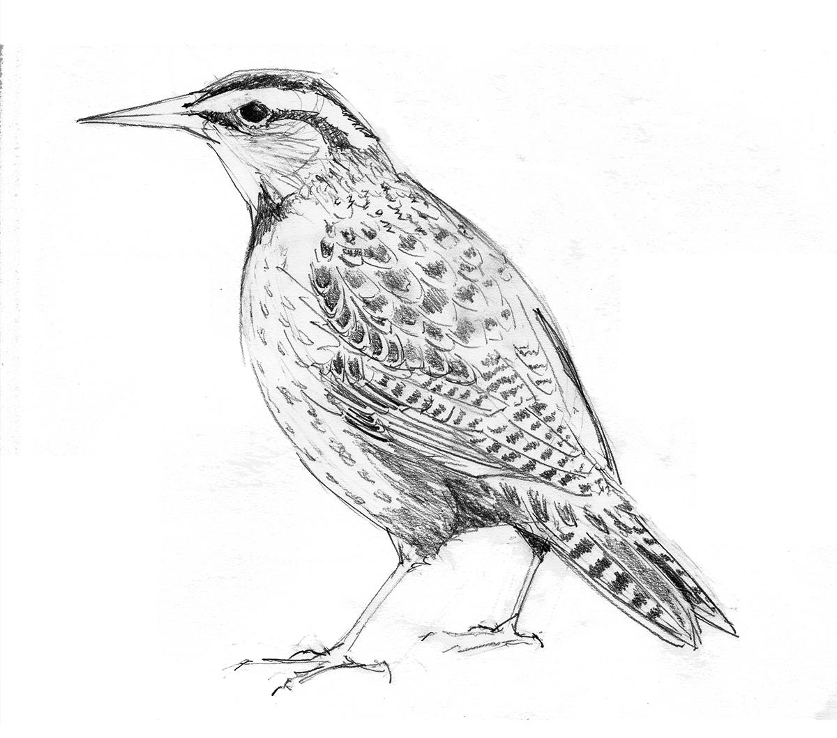 Western Meadowlark Drawing