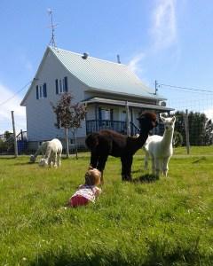 maison alpagas fibrefine élevage