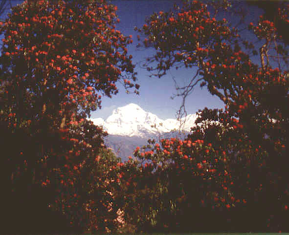 Rhododendron Nepal pictures