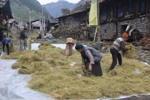 हिमाली क्षेत्रका किसानलाई याक र चौँरीको खुराक जोहो गर्न चटारो