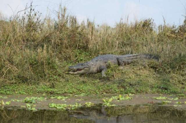 Basking mugger crocodile at Chitwan National Park