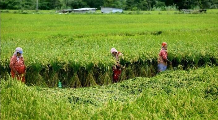 ललितपुरको खोकनाका किसान ढलेको धानको बोट बाध्दै किसान
