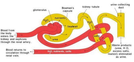 Glomerular Filtration - Nephron Model
