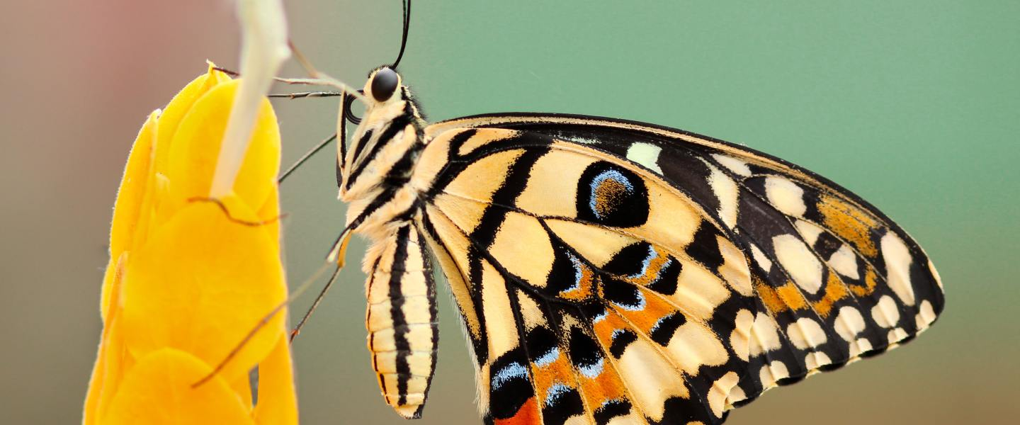 This is one of the butterflies that plays with your eyebrows.