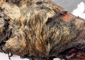 Cabeça de lobo antigo de 30 mil anos é encontrada na Sibéria