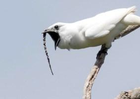 O pássaro que canta mais alto vive na Amazônia