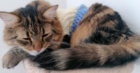 Dona acalma ansiedade de gato vestindo suéter nele