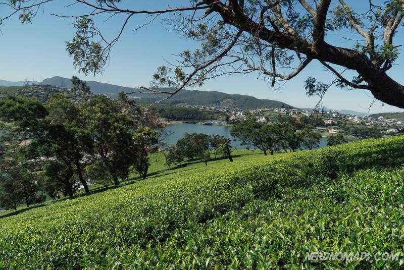 tea bushes Nuwara Eliya