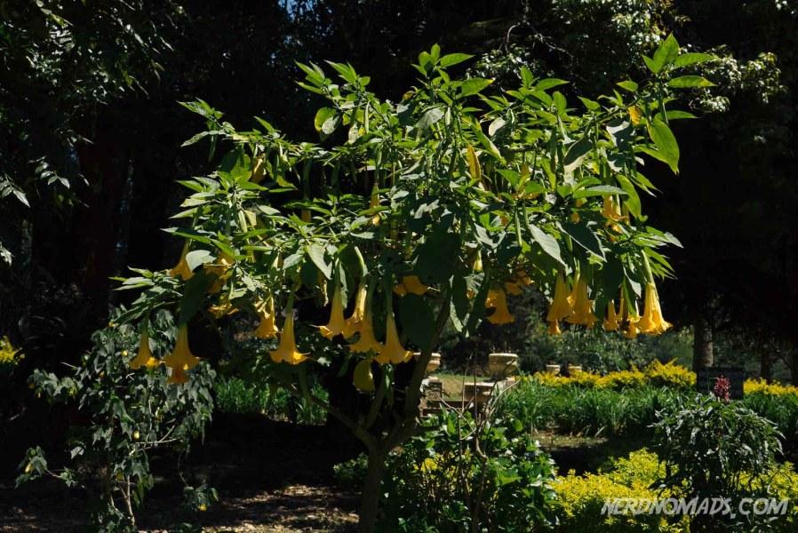 Yellow_Flower_Victoria_Park_Nuwara_Eliya