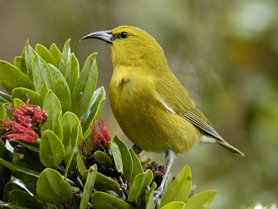 Kauai's native forest birds are headed toward extinction