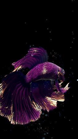 Betta Fish Live Wallpaper-1