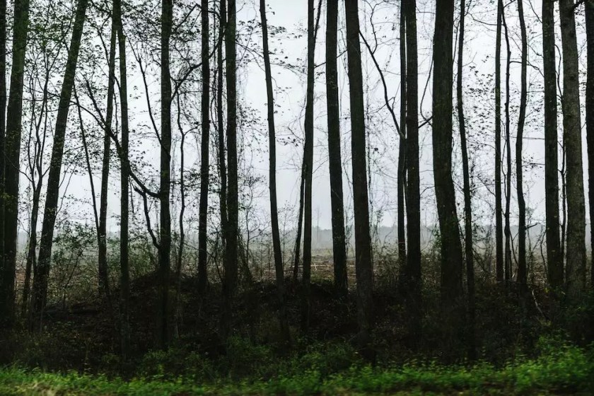 Vertical trees shadowing the undergrowth next to a road