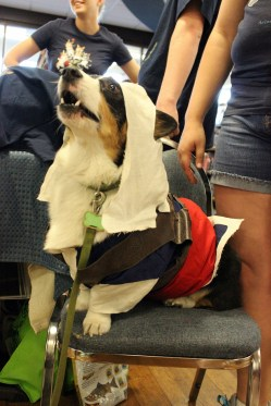 Kiba the cosplay corgi rocked out his new Assassin's Creed costume.