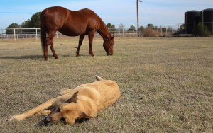 AniCell Biotech, a Chandler-based startup, collects amniotic materials collected during birth at this ranch in Mesa and uses them in a new regenerative treatment for tendons, ligaments, eyes and wounds in dogs and horses. (Photo by Erica Apodaca/Cronkite News)
