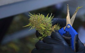 "A worker harvests a cannabis plant at a medical marijuana ""growhouse"" in Tucson, Ariz.,on Saturday, Oct. 29. (Photo by Brian Fore/Cronkite News)"