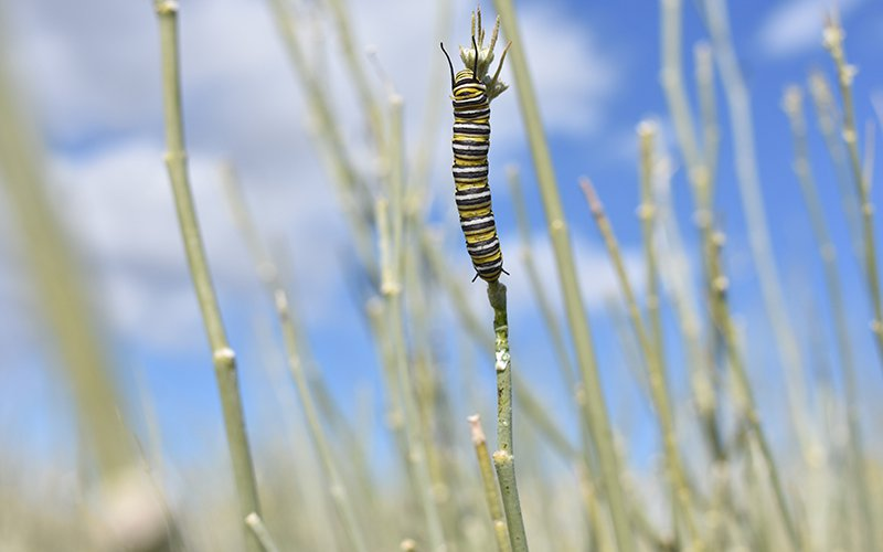 Monarch caterpillars eat away at milkweed before retreating into a chrysalis and emerging as butterflies at Sunnylands Center and Garden in Rancho Mirage, Califfornia (Photo by Jose Ivan Cazares/ Cronkite News)