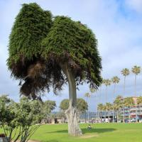 "The Tree That Inspired Dr. Seuss' ""The Lorax"" Has Fallen Over"