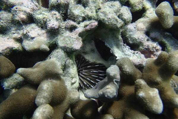 White tipped urchin – Echinometra mathaei