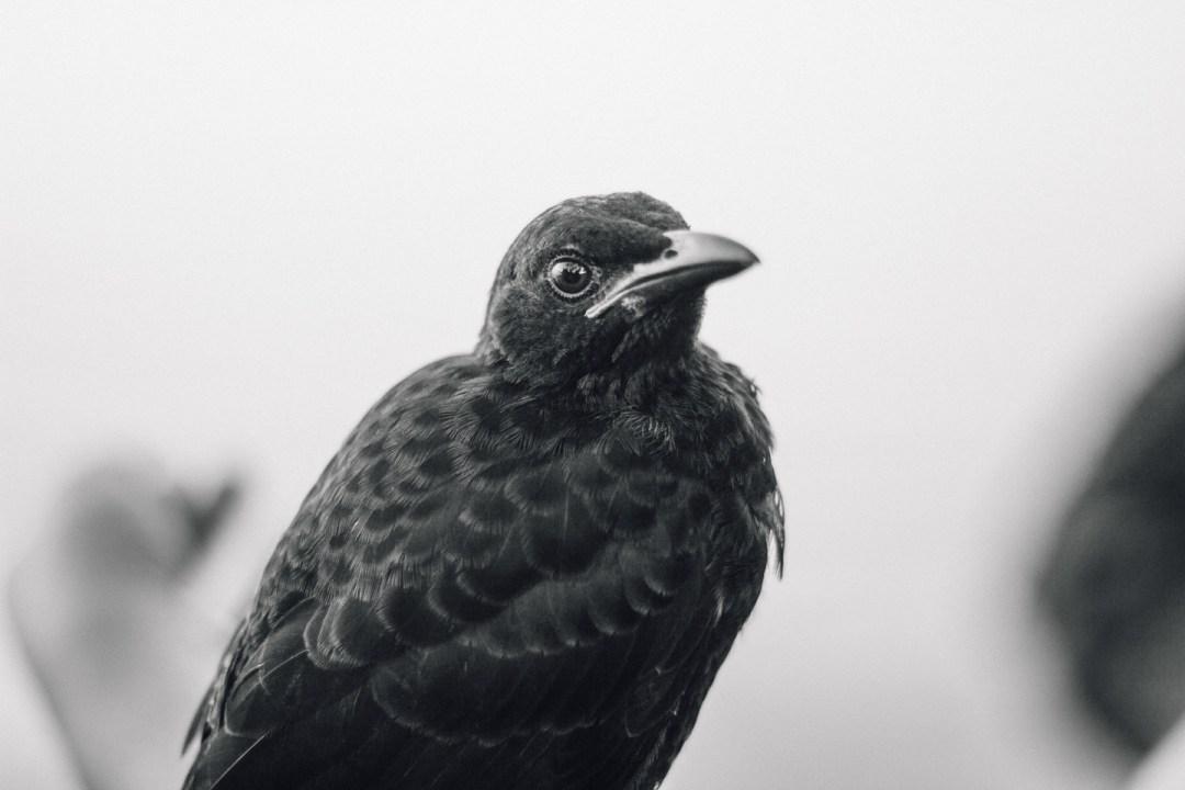 Samoan Starling