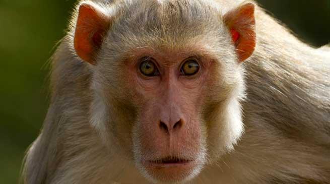 एक किसान जो बंदरों को खेतों से दूर रहने पर कर दिया मजबूर