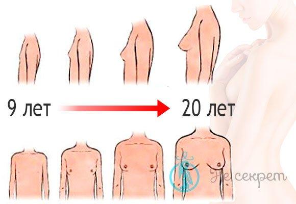 До скольки лет растет грудь: схема