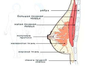 Из чего состоит грудь и каковы факторы её роста