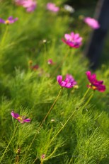 japan-summer-flowers