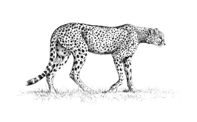Рисуване на бозайници. Анатомия и структура.