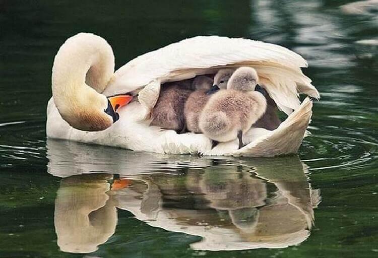 трогательные снимки мамочек птиц и их малышей