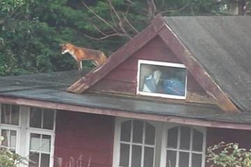 FoxyBack