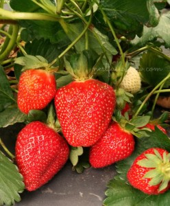 pick-your-own strawberry