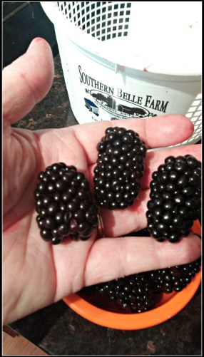 blackberry picking win