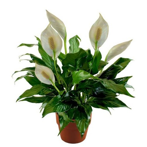 Peace Lily, Spathiphyllum (Golden) Plant - Buy Plants ...