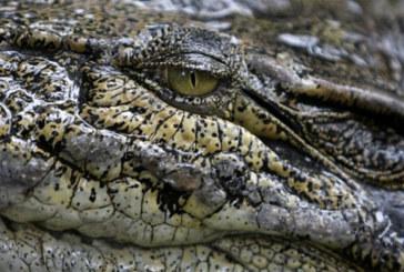 Australie: une femme avalée par un crocodile