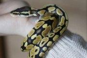 Un Thaïlandais mordu par un python aux toilettes : Au fait, quels sont les animaux qui pourraient sortir des vôtres ?