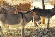 Abattage d'ânes au Burkina Faso: Le vrai problème réside dans l'abattage clandestin