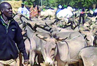INTERDICTION DE VENTE DES PEAUX D'ANES : Des trafiquants demandent un moratoire de 3 mois