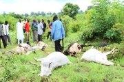 Burkina Faso: Des « champs maudits » responsables de la mort  d'une soixantaine de bœufs dans la province du Houet