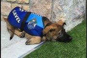 Australie: Un chien de police viré de son service. La raison