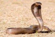 Insolite: Un homme se marie avec un cobra de 3m pour des raisons carrément folles