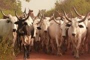 Burkina Faso - Gadiouga (Djibo) : des hommes armés non identifiés emportent plus de 200 bœufs
