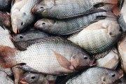 La Côte d'Ivoire interdit provisoirement l'importation du tilapia en provenance de cinq pays (Communiqué)