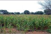 Communication dans la promotion des bonnes pratiques culturales et agronomique du maïs au Burkina Faso : Cas des producteurs de la province du Boulkiemdé
