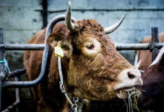 Retraite paisible pour la vache qui refusait son sort