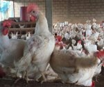 Aviculture au Sénégal: Cette décision de l'Etat qui fâche les producteurs